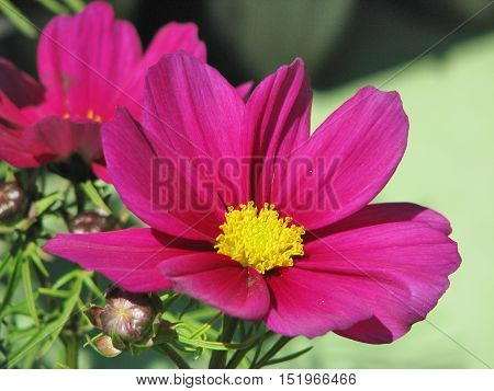 Purple Flower, Cosmos With A Green Back Ground 11as