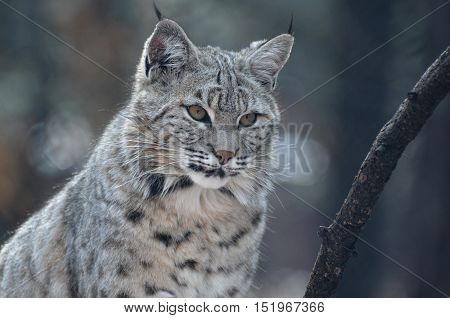 Beautiful face of a bobcat in the wild up close and personal.