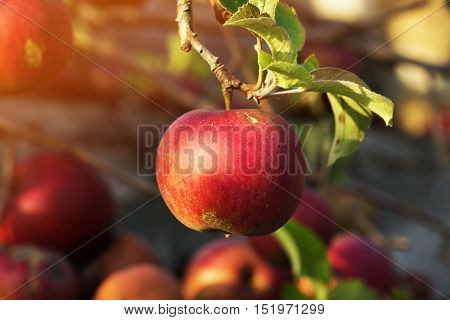 red apple on a branch in autumn garden. Branch with apple. At the autumn tree hang ripe and juicy apples