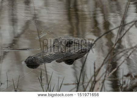 American alligator hanging out in a local pond