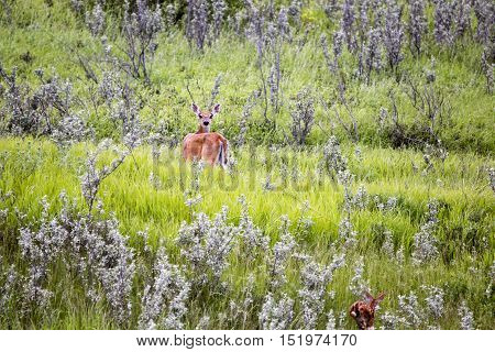 Deer And Fawn In Field