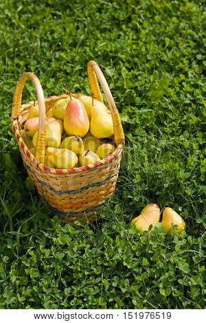 Fresh Ripe Organic Pears In Wicker Basket On Green Grass Outdoor Top View. Background Of Wicker Basket With Fresh Ripe Pear And Green Grass. Yellow Pears. Healthy Organic Pears.
