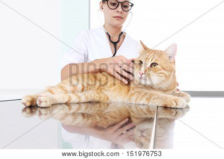 veterinarian doctor examining a ginger red cat on the table at vet clinic