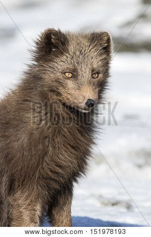 Portrait of a Commandes blue arctic fox on the background of the winter tundra Bering Island