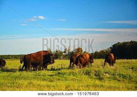 Wildlife, a few bison looking and walking in de field of Canada