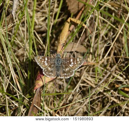 The Common Checkered Skipper (Pyrgus communis) is a small, common butterfly in North America of the family Hesperiidae