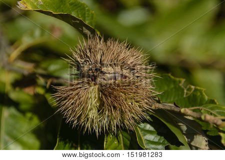 A nut of a Chestnut tree (Genus Castanea) shown with its distinctive spiky covering.