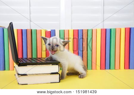 Tiny Siamese kitten with blue eyes sitting at a miniature laptop computer stacked on books with books in background. Looking towards viewer mouth open meowing talking complaining. One paw on computer