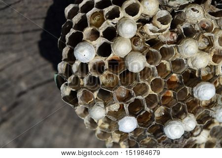 Wasp Nest Without Wasps. Captured Ravaged Nest Wasps. Honeycombs With Larvae