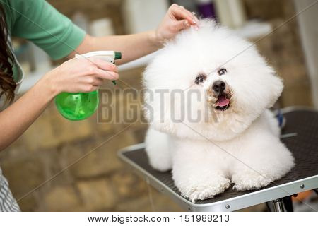 cute hairstyle for bichon frise for professional