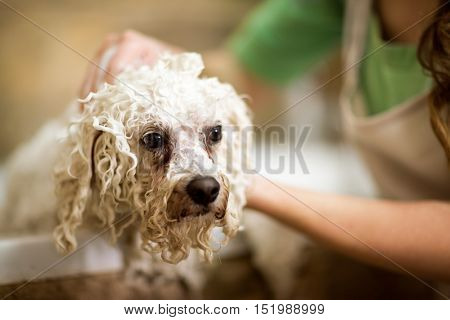 Professional hygiene on pet in salon