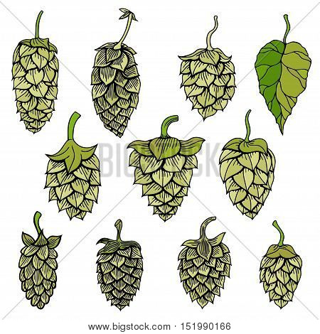 Set of Hops vector visual graphic icon or logo, ideal for beer, stout, ale, lager, bitter labels and packaging etc. Hop is a herb plant which is used in the brewery of beer. Vector illustration.