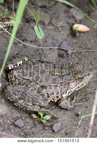 Frog sitting on the ground - close up