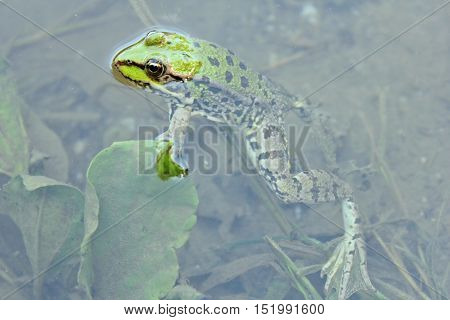 Green frog in the water - close up view