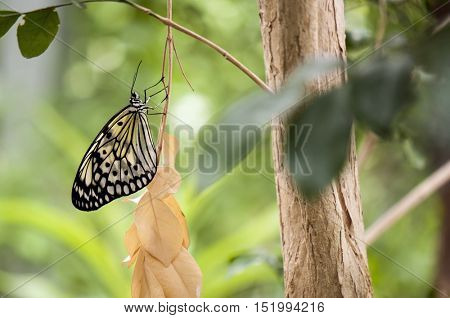 Detail of large tree nymph butterfly (Idea leuconoe) aka paper kite or rice paper butterfly