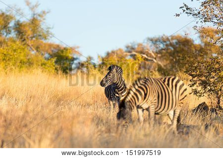 Herd Of Zebras In The Bush. Wildlife Safari In The Kruger National Park, Major Travel Destination In