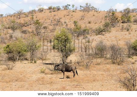 Wildebeest From South Africa, Pilanesberg National Park