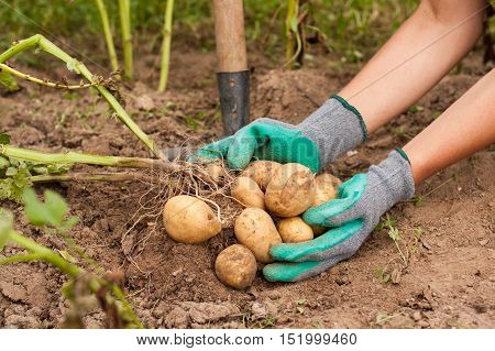 Harvesting Potatoes. Female Farmer Hold Heap Fresh Potato In Her Hand Close To Ground. Fresh Potato. Harvest Time Season.