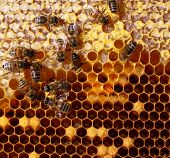 honey cells and working bees poster