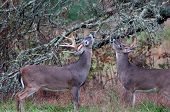 Two whitetail deer bucks chewing on branches as part of the rut poster