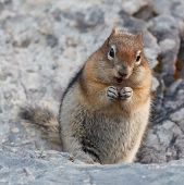 Golden-mantled ground squirrel spermophilus lateralis Banff National Park Alberta Canada poster