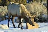 Hungry Elk in Colorado Rockies during cold winter of 2011 poster
