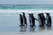 King Peguin Colony at Volunteer Point Falkland Islands poster