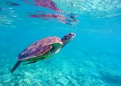 Sea turtle in blue water. Big sea turtle diving in coral reef. Sea tortoise. Green turtle swims in sea. Snorkeling with turtle in lagoon. Aquatic image for banner template or poster with text place poster