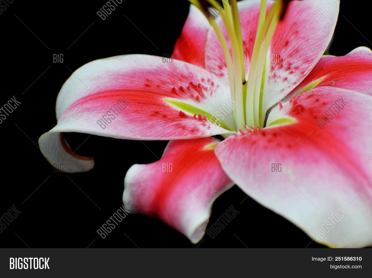 White pink lily flower image photo free trial bigstock white pink lily flower on black background with copy space for text close up view izmirmasajfo