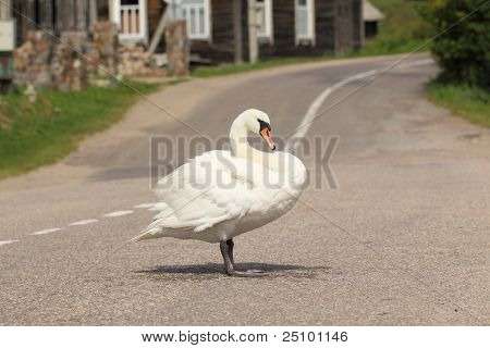 Beautiful swan standing on street