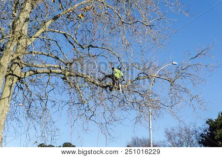 Tauranga New Zealand - 2 July 2018; Arborist Hanging By Safety Rope Clambering About High In Leafles