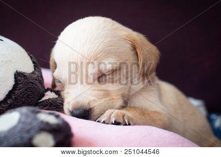 Cute Little Puppy Sleeping Closeup View Beige Adorable