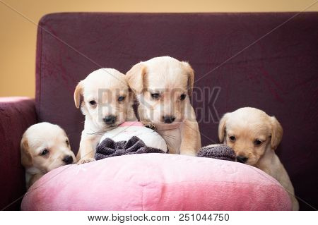 Cute Little Puppies White Colour At Home Four Together Litter