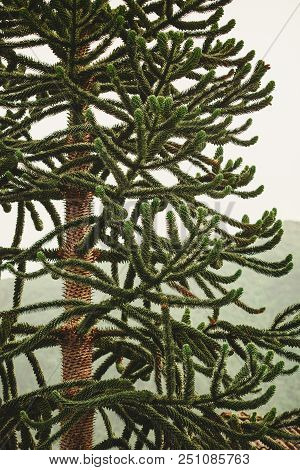 Detailed Closeup Of Conifer Green Tree On White Bright Background. Beauty Of Nature Details Concept.
