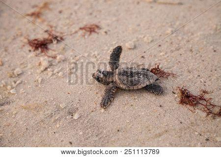 Hatchling Baby Loggerhead Sea Turtles Caretta Caretta Climb Out Of Their Nest
