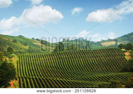 Amazing rural landscape with green vineyard on Italy hills. Vine making background