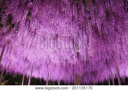 Beautiful View Of Great Purple Wisteria Trellis At Night At Ashikaga Flower Park, Japan. Nature Trav