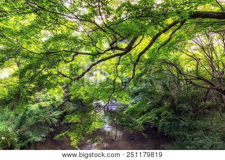 Lush Forest In Summer Taken Over The Creek Taken Near Kinrin Lake In Fukuoka, Japan