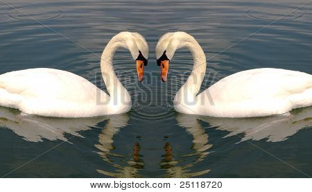 Two Swans Making Heart