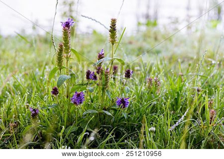 Morning Dew In The Woods On The Grass And Flowers. Morning Freshness In The Field And On Meadows. Su