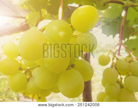A Bunch Of Ripe White Grapes Close-up.