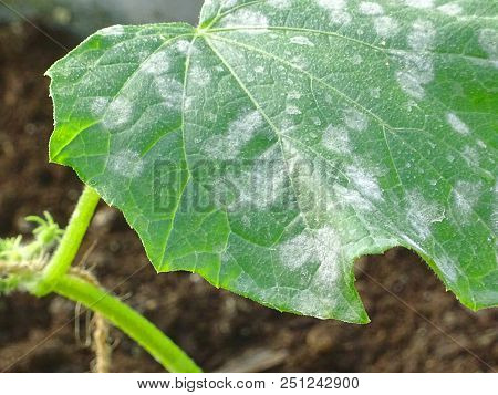 Close Up Of Cucumber Leafs With White Powdery Mildew. Plant Disease