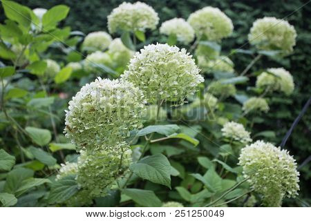 Not Ordinary Hortensia Bush Getting Green Flowers