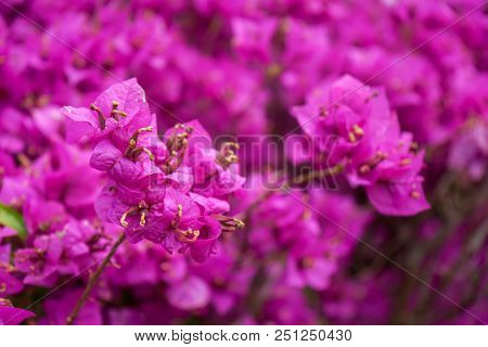 pink summer flower close up view with colorful leaves, bougainvillea nyctaginaceae poster