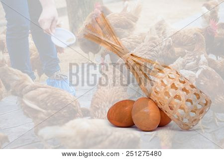 Many Egg With Basket Isolated On Farmer Holding Animal Feed For Many Chicken (hen) Background - Chic