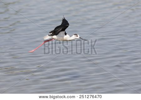 One Black-winged Stilt Flying Away Over Water To Some Safety
