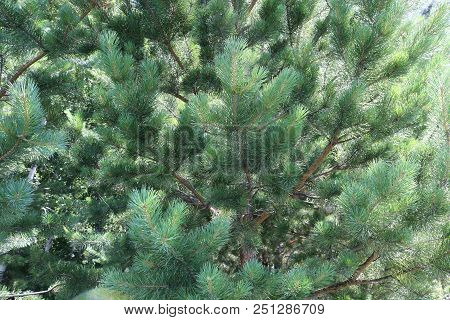 Pine Forest. Young Pine Trees In A Pine Forest.