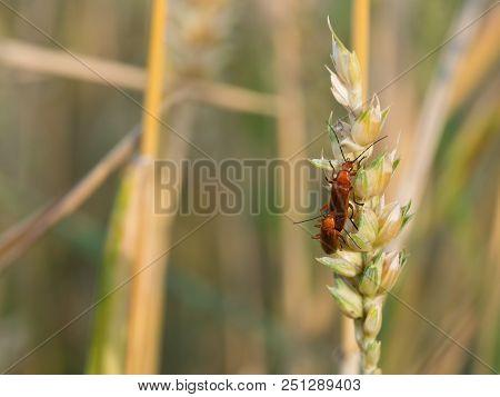 The Common Red Soldier Beetles (rhagonycha Fulva)copulating On A Grain