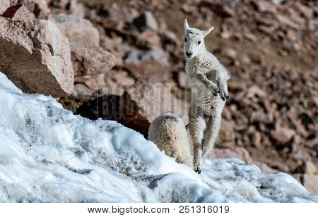 A Baby Mountain Goat Kid Frolicking In The Snow High In The Rocky Mountains