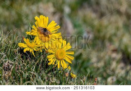 A Pretty Ediths Checkerspot Butterfly In The High Alpine Tundra In Colorado On A Yellow Flower
